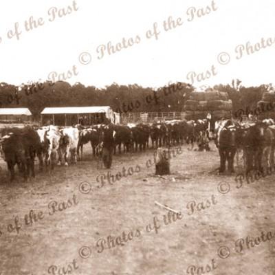 Bullock team, Hindmarsh Tiers SA. c1900s. South Australia. Farming