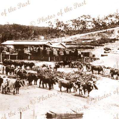 Bullock team & Sawmill, Hindmarsh Tiers SA. c1915. South Australia. Farming, forestry