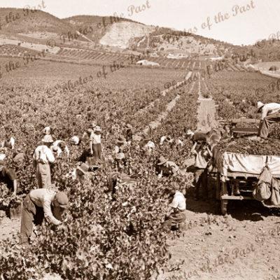 Picking grapes, Penfolds vineyard, Magill, SA. c1930s. Wine making. South Australia