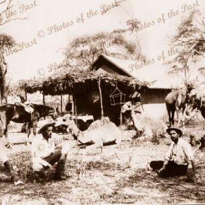 Outback Settler's Camp. Camels & horses, Australia 1890s