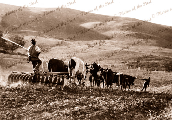 Bullock team at work ploughing field horses farmer c1920s