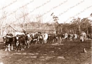 Bullock team hauling a loaded wagon near Lang Lang Vic. September 1874