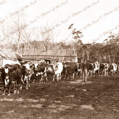 Bullock team hauling a loaded wagon near Lang Lang Vic. September 1874