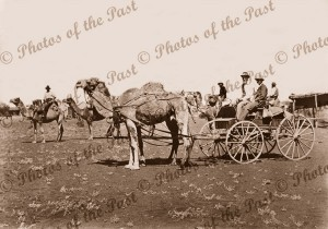 4 wheeled coach pulled by 2 camels. Other camels beyond. Pt Augusta, South Australia c1910s