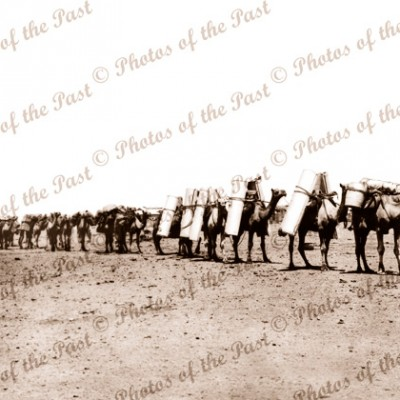 Laden Camel train, far north South Australia c1910s