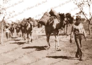 Afghan Camel Train, far north South Australia 1920s