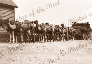 Camels with load of wool at Railway Station