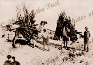 Two camels laden with firewood at Lake Callabonna, SA