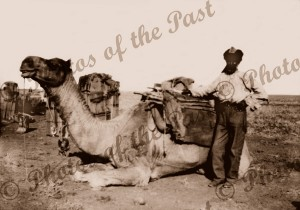 Afghan Camelier with his pack camels c1910