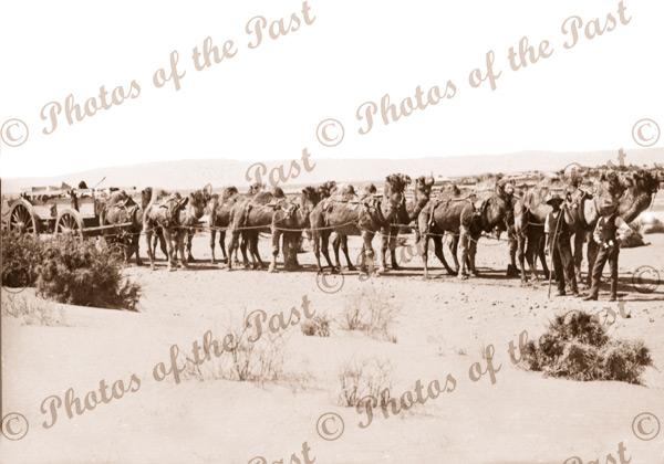 Camel team and wagon. Port Augusta SA to Perth WA 1907 South Australia Western Australia