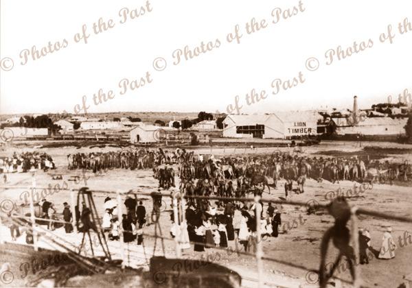 SS LANDSDOWN TOWER unloading 312 camels at Pt Augusta, SA 1897