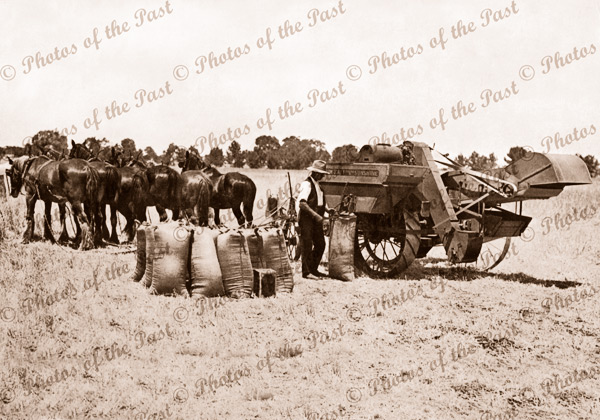 Bagging wheat in the field, horses 1930