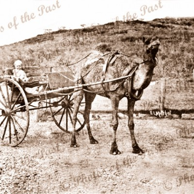Camel drawn buggy. Father & child