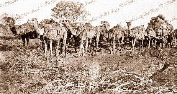 Camels hauling loaded wagon on road to Peak Hill WA, Western Australia