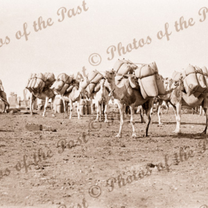 Camels loading for Lake Way, WA, Western Australia