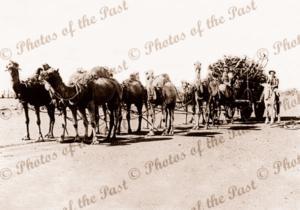Camel team hauling wagon of Sandalwood. WA. Western Australia