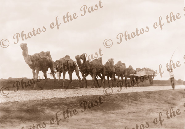 Road making with seven camels hauling stone weighted roller. c1900s