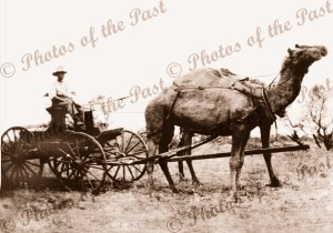 2 camel team, Royal Mail, Yudnapinna Stn to Farina SA, South Australia, c1900