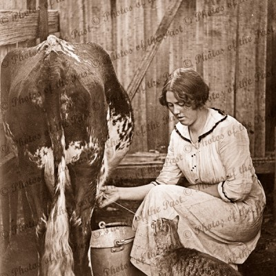A Drink on the side (cat having a drink from a cow) c1910