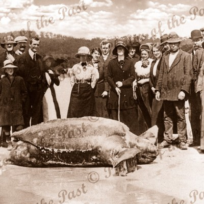 An unexpected visitor. Giant turtle near Lorne, Vic.Leatherback. c1910s. Victoria. Great Ocean Road.