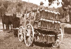 1200 Rabbits going to market.1908. Rabbitohs