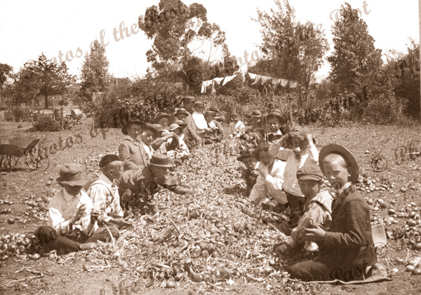 Students sorting onions, Plympton school gardens, SA. South Australia. c1900