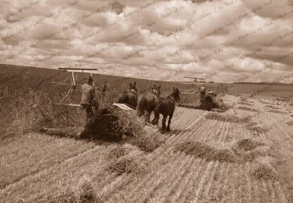 Binders at work, 1930s. Horse drawn farm equipment