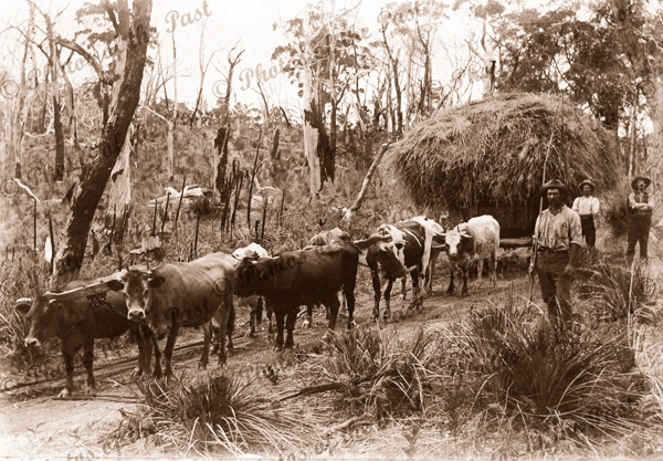 Bullock plough team, Hindmarsh Tiers SA. South Australia. Farming c1910s