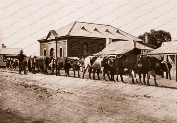 Bullock teams at Blinman, SA (10 beasts with wagon in main street?) 1908. South Australia