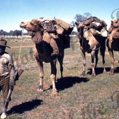 Aborigine with camel team near Alice Springs. Colour Ron Blum photo. 1956. Nothern Territory