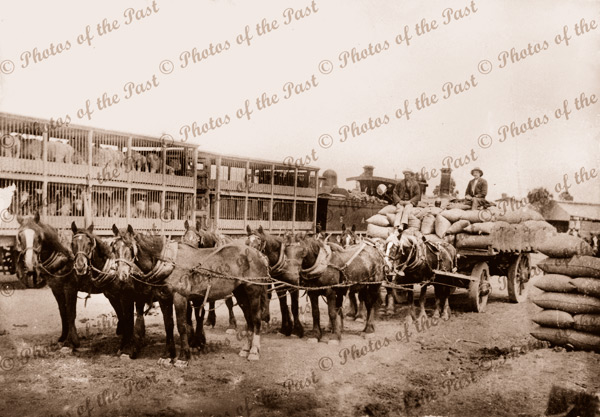 Horse team carting wheat to rail siding, Millicent, SA. South Australia 1900s