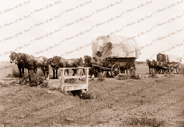 Draft horse with laden wool carts, c1910s