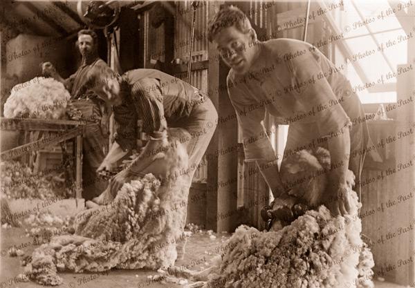 Shearers at work, c1910. Sheep
