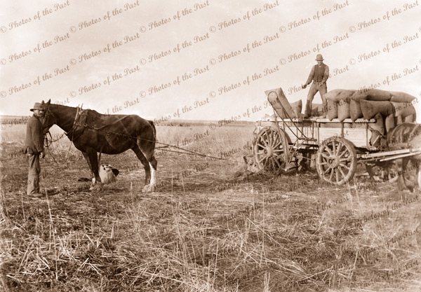 Loading bagged wheat onto wagon by horse powered device. c1910. Horse and cart