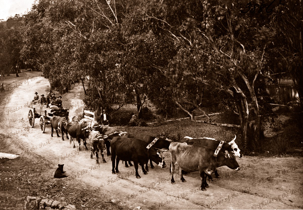 Bullock team with load of sawn timber. c1900s