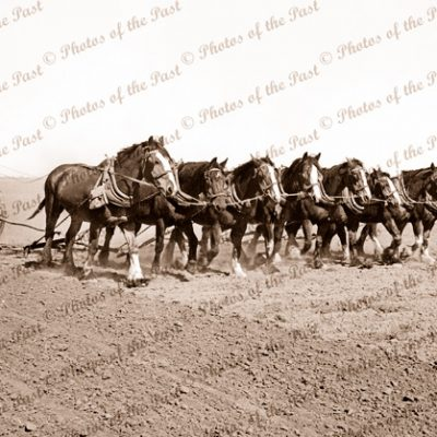 8 horse team preparing for seeding (scarifying). c1930s