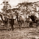 Team of three camels pulling wagon load of sandalwood. c1930