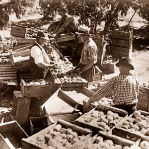 Grading peaches in orchard. SPC, Shepparton, Victoria. C 1946