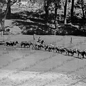 Bullock team hauling unladen jinker across a river, Victoria, c1938