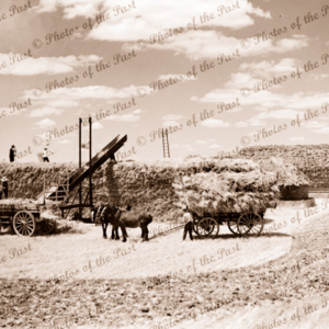 Wheat stacks at Minyip near Ararat, Vic. Horse and cart. C1950. Victoria.