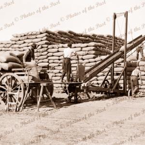 Stacking wheat at Sheep Hills, Victoria, c1950. conveyor belt