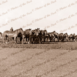 Horse plough teams in paddock. Victoria, c1940s