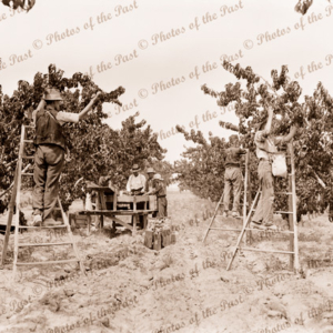 Fruit picking and sorting in an orchard. c1940s
