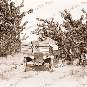 Loading boxes of peaches onto buckboard utility in an orchard. c1930s. Car
