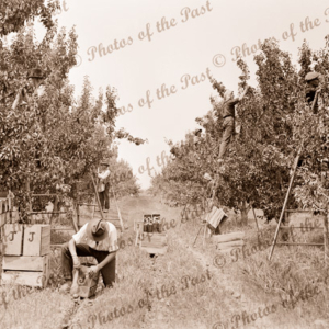Picking pears in an orchard. c1940s