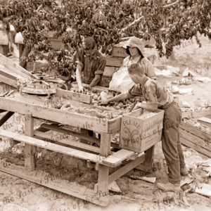 Grading fruit in peach orchard. c1940s.