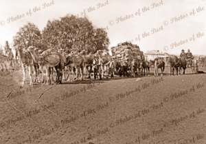 Camel team with wagon load of wheat? White Cliffs, NSW. New South Wales. 1907