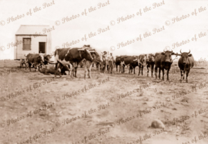 Bullock team moving half house to 'Bunker (later Gemudee) 12 miles out from White Cliffs, NSW Bullocks are slow and careful. 1908. New South Wales.
